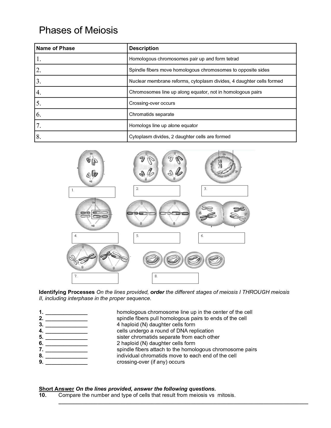 Simple Worksheet On Mitosis