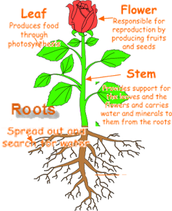 plant parts/function Parts of a plant, Planting roses