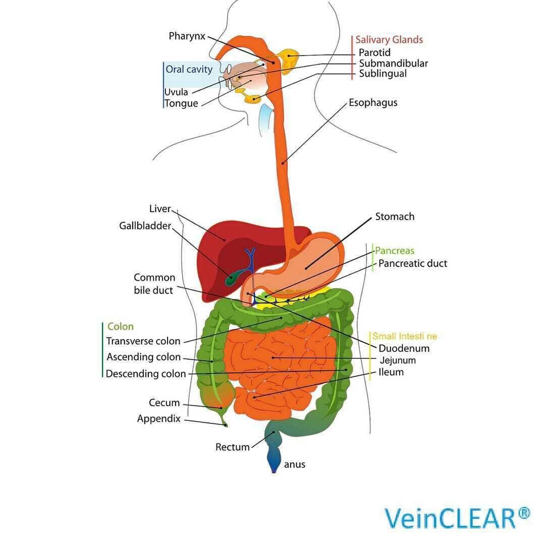 5 Fakten zum Magen-Darm-Trakt 1. Bei einem Erwachsenen kann der Darm ...