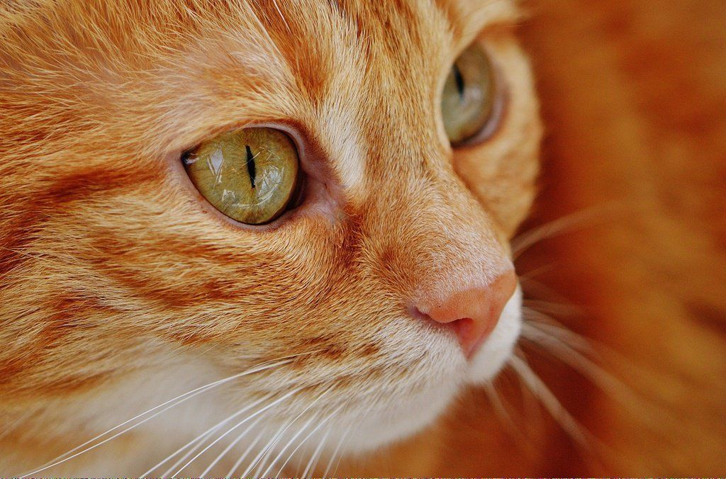 Cats For Free Near Me CanCatsEatCatnip Referral