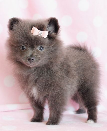 Pomeranian Puppies For Sale South Florida Cute Animals Pomeranian Puppy Puppies