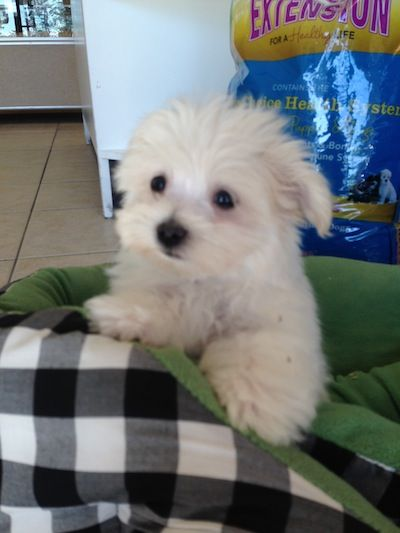 Puppies For Sale Boca Raton Fl Puppies For Sale Puppies