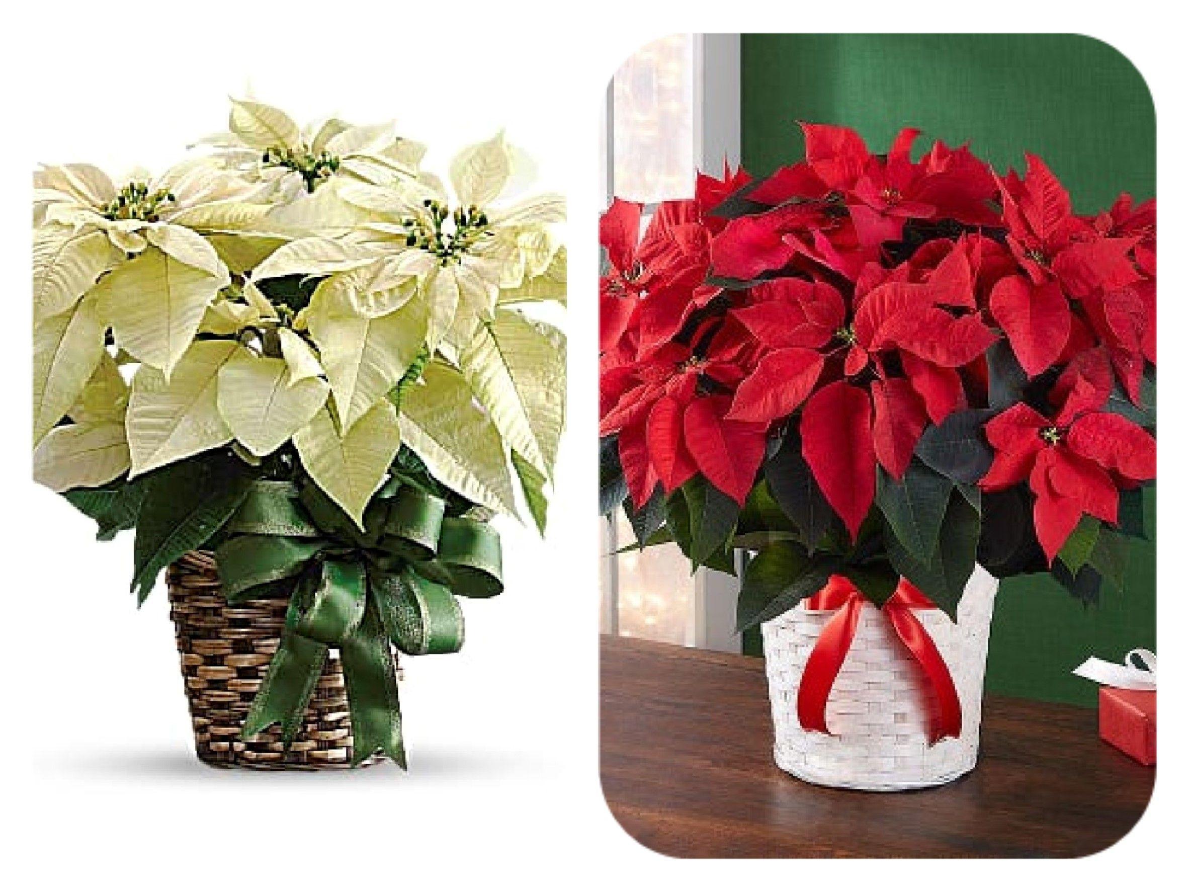 Christmas Poinsettia Plants Christmas Flower Arrangements Poinsettia Plant Flower Arrangements