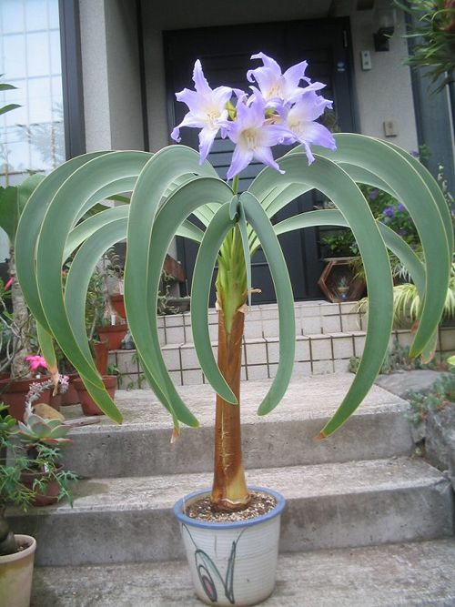 the fabled blue amaryllis is one of Brazil's greatest botanical secrets, found growing near waterfall in the Amazon