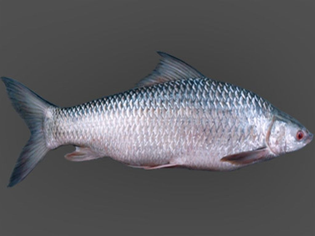 mrigal fish is a fish of river like rui and katla of south asian