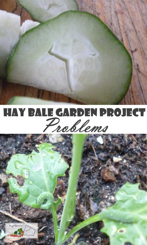 Hay Bale Gardening Problems Working Through This Experimental Way Of Gardening Hay Bale Gardening Hay Bales Straw Bale Gardening