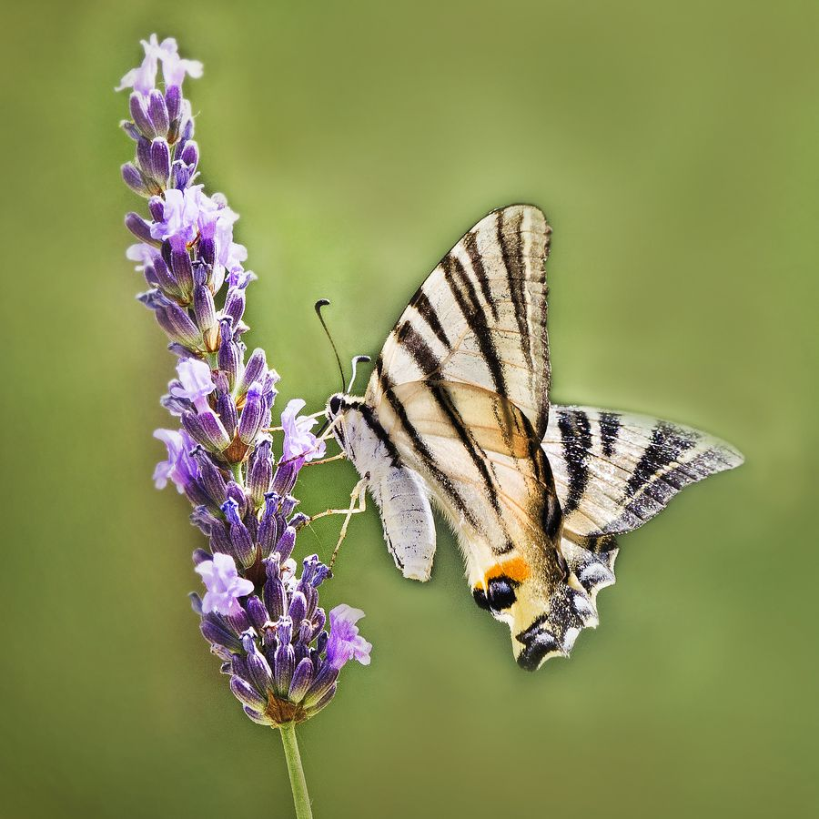 swallowtail by LucVanDeWeghe on 500px