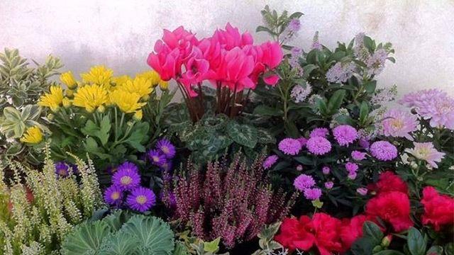 Con i fiori da balcone invernali più belli, resistenti e facili da ...