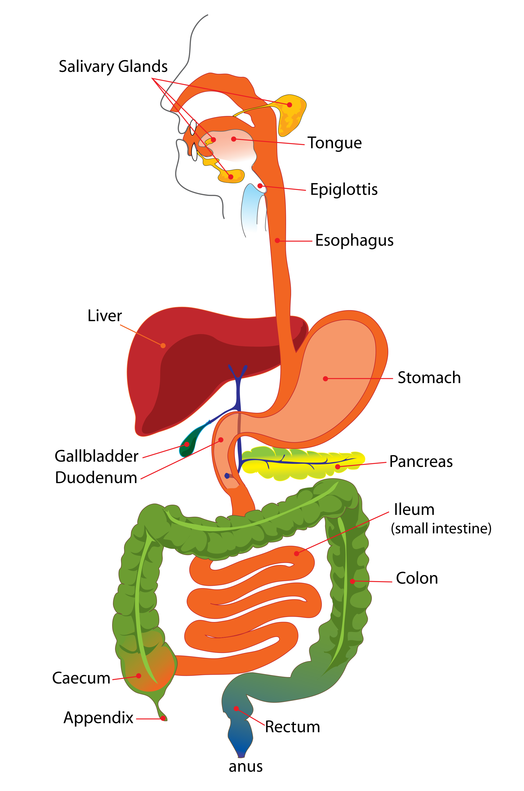 Digestive System Diagram for Kids & Digestion Facts - InfoBarrel ...