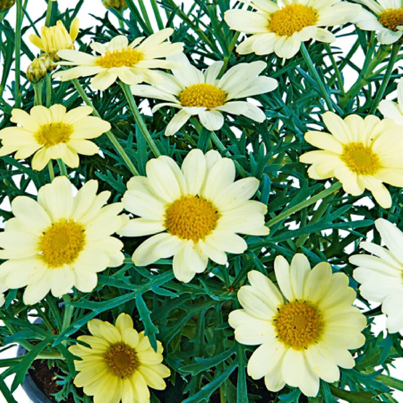 Marguerites aramis yellow is a compact bushy plant studded with marguerites aramis yellow is a compact bushy plant studded with brilliant yellow coloured flowers all summer these delightful daisies like plants izmirmasajfo