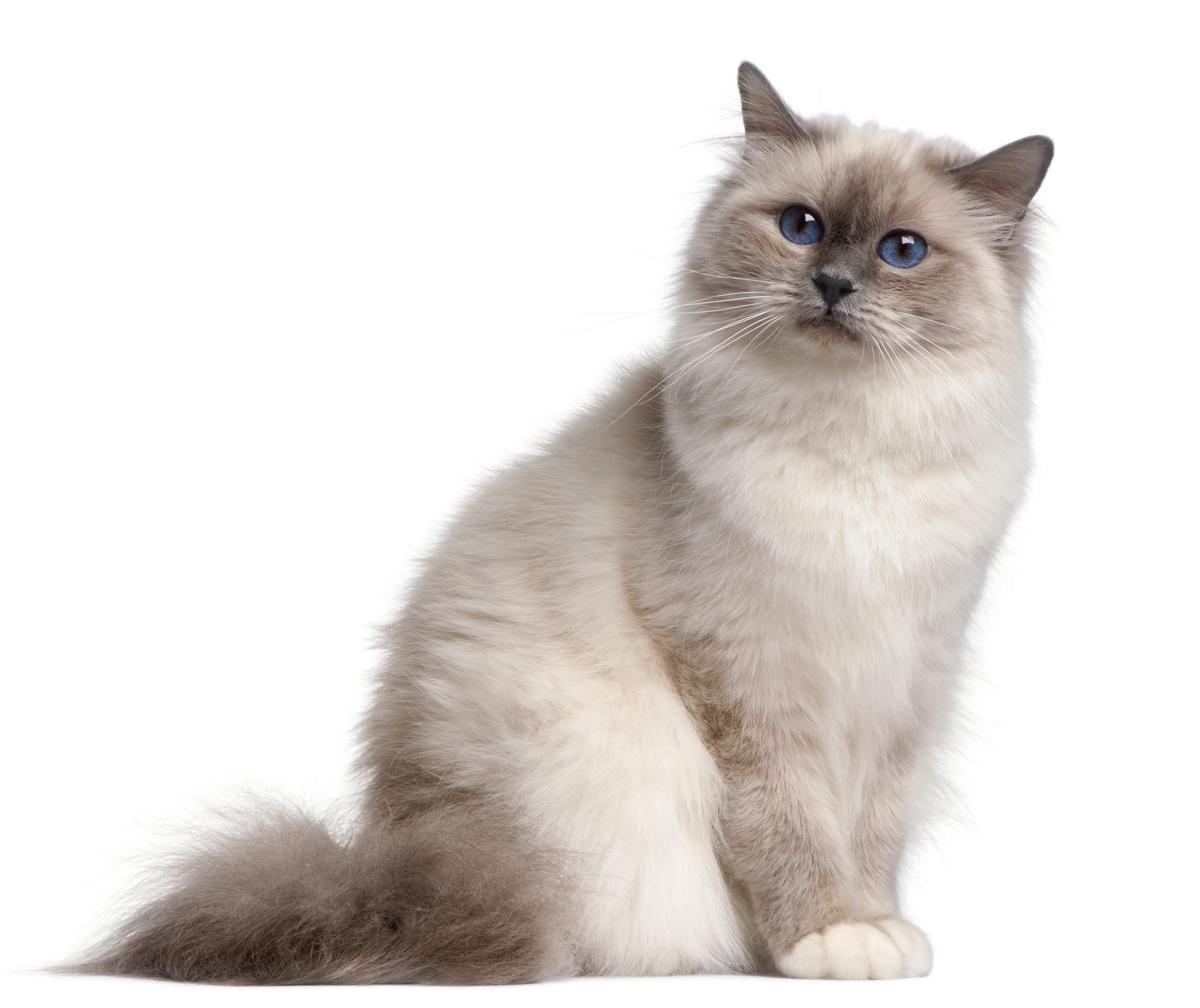 Found on Bing from Cats, Birman cat, Long