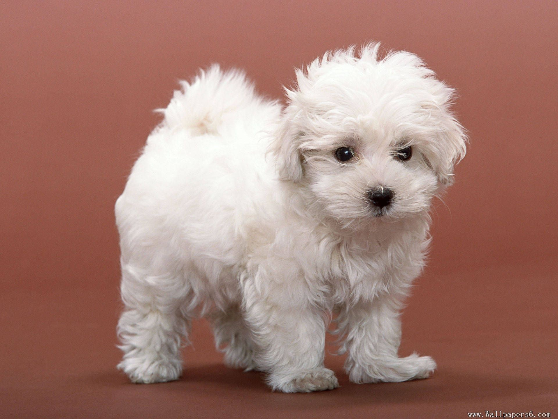 white puppy pictures - Google Search   Red, White and Blue   Pinterest