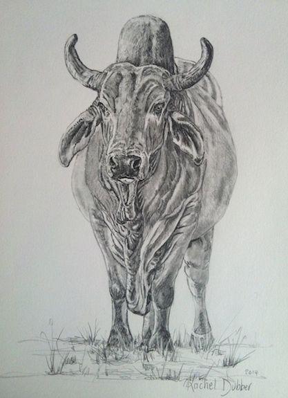 Zebu A Southafrican Breed Of Cattle Com Imagens Animais Cavalos