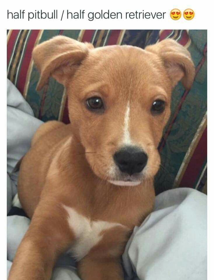 Half Pitbull Half Golden Retriever Pitbull Mix Puppies Pitbulls