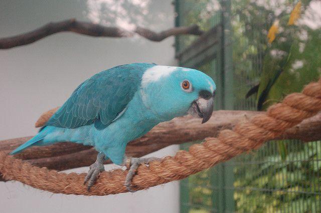 Blue Mutation Yellow Crowned Amazon Parrot 9 Amazonen