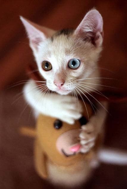 Little White Rescue With Blue And Hazel Eyes Cute Cats Cats Kittens Cutest