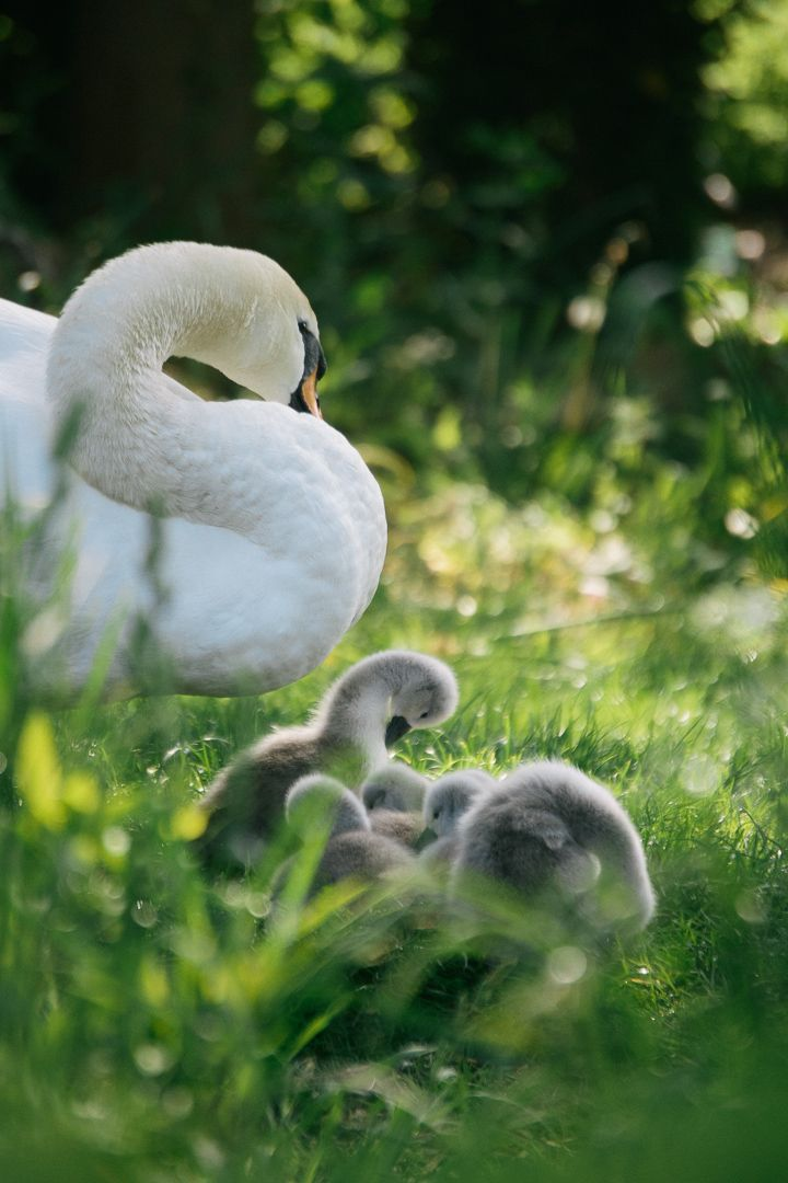 Like mother like daughters; our new baby cygnets
