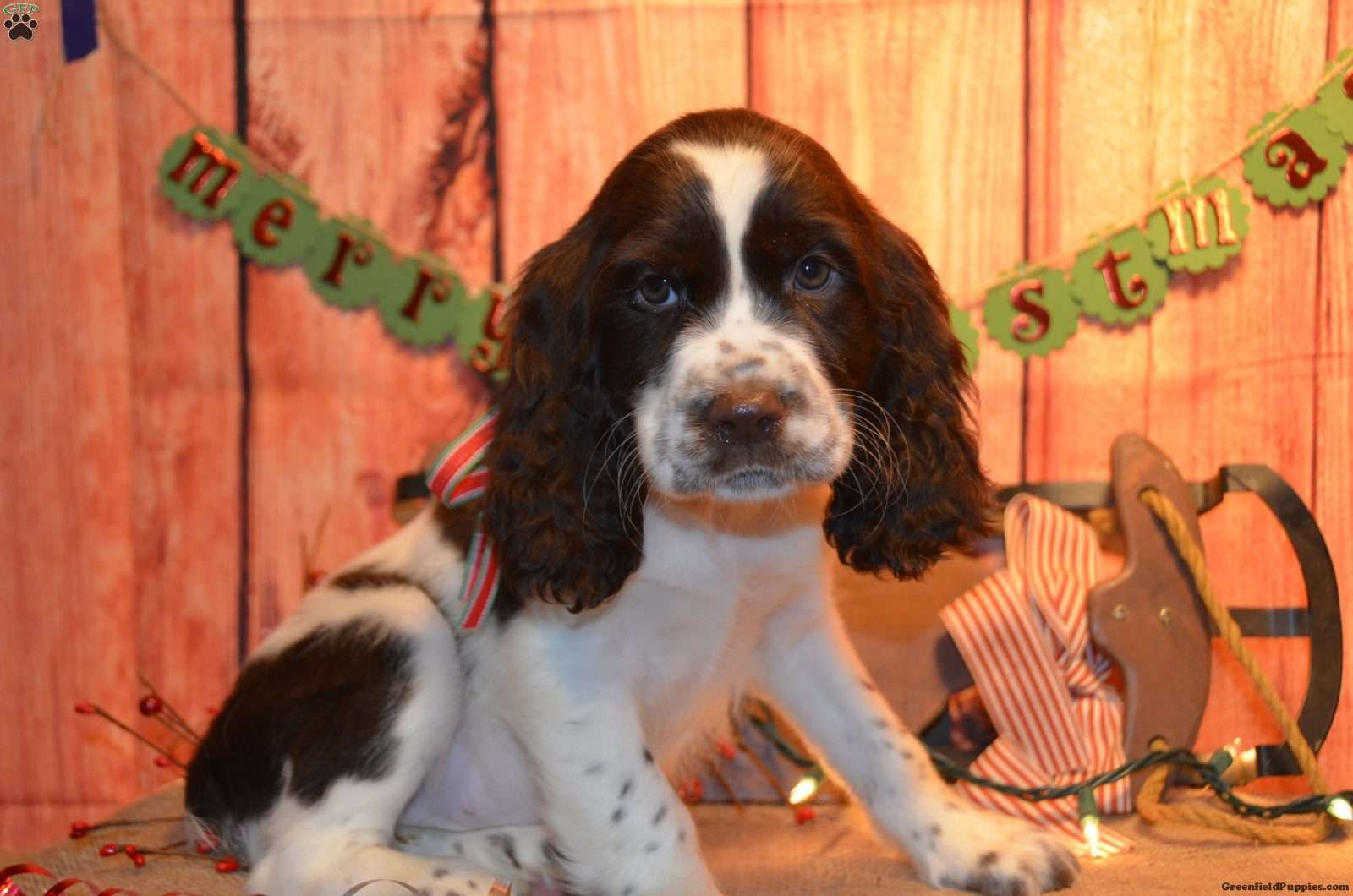 Jade English Springer Spaniel Puppy For Sale In Ohio English Springer Spaniel Puppy Spaniel Puppies For Sale English Springer