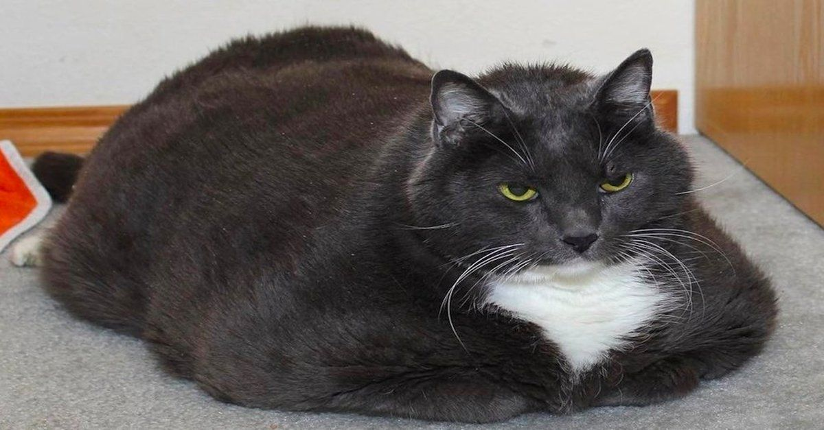 Overweight Cat Surrendered To Shelter Was Miserable. But