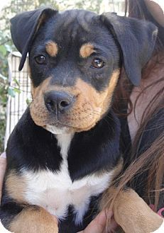 This Is The One We Want Castaic Ca Rottweiler Boxer Mix