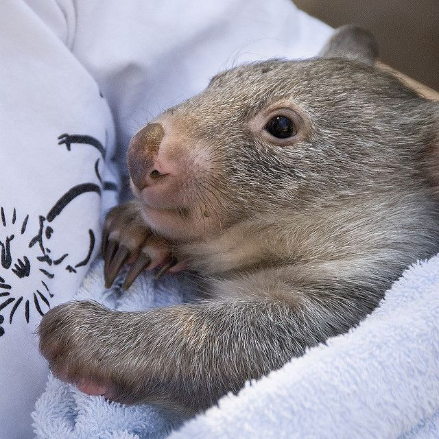 Baby Wombat: Adorable And Amazing Animals