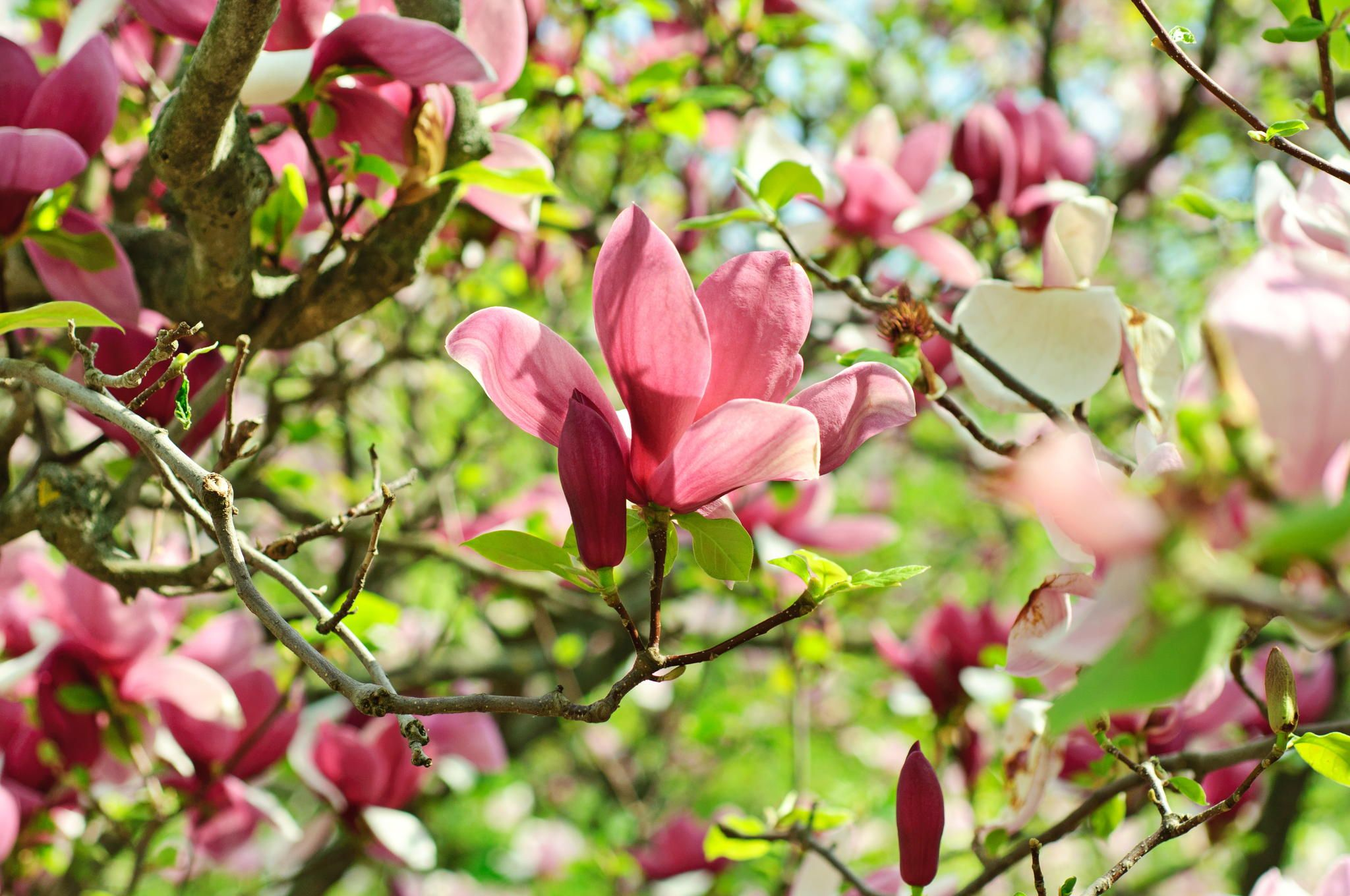 Magnolia flowers by Roksana Bashyrova on 500px