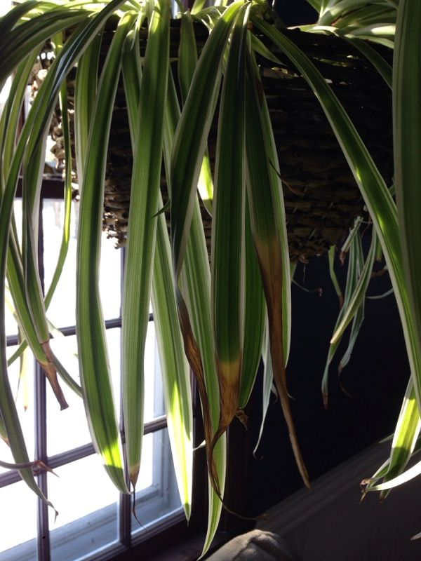Spider Plant Problem Spider Plants Plant Leaves Plant Problems
