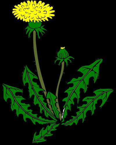 imagini pentru desen papadie  flower clipart dandelion
