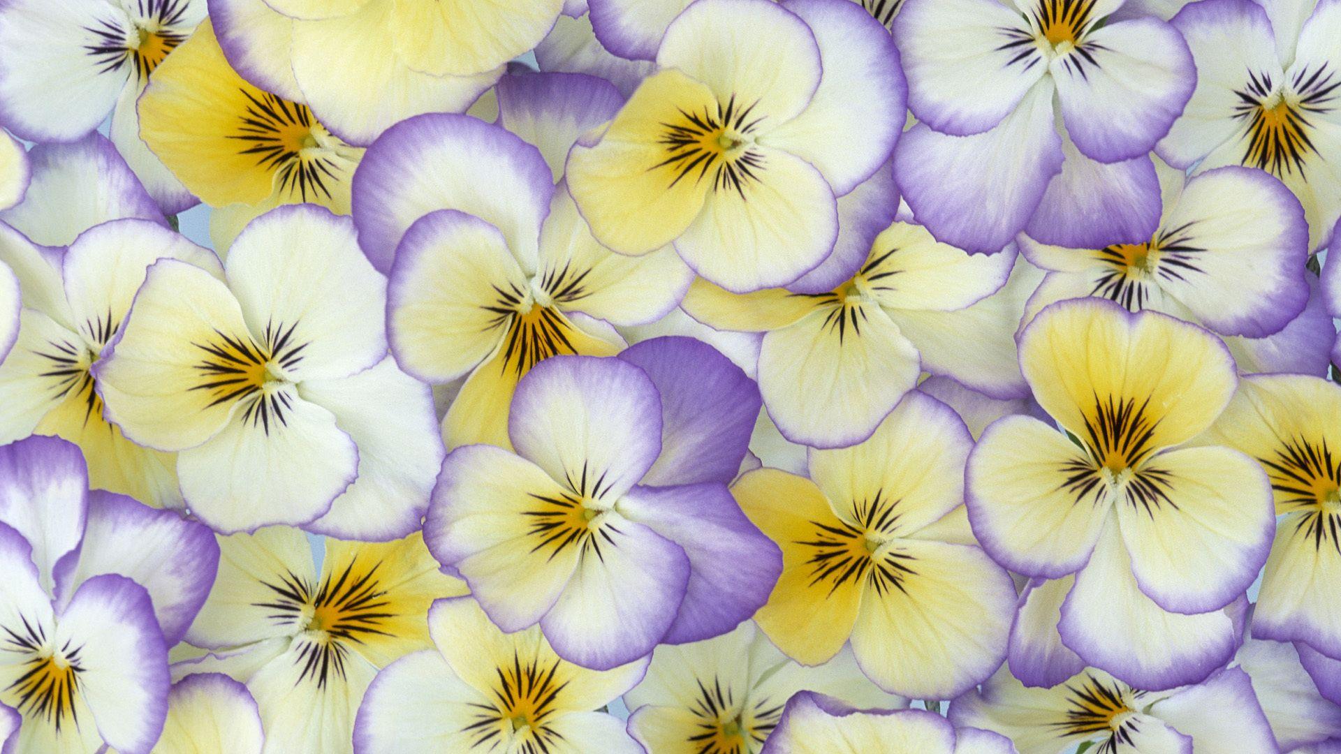 Beautiful Pansy Flower Petals Pansies Flowers Violet Flower Pansies