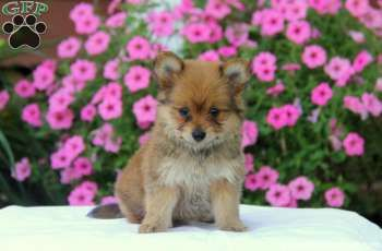 Cinnamon Yorkie Pom Puppy For Sale In Pennsylvania Pets