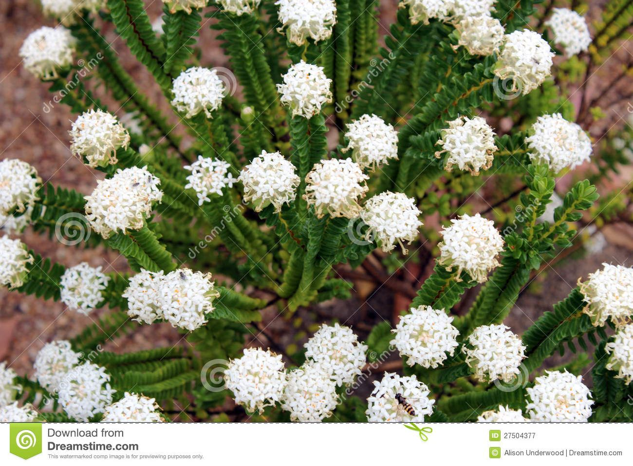 Stock Photography West Australian Native Wildflower White Pimelia Wild Flowersaustralia