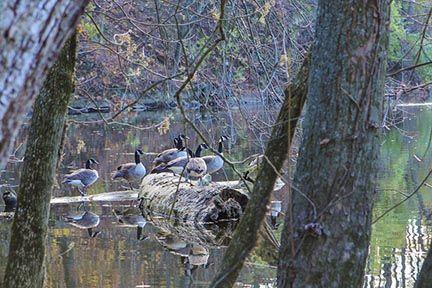 Geese ©Kelly Planer #geese #autumn #fall #lake #hangingout