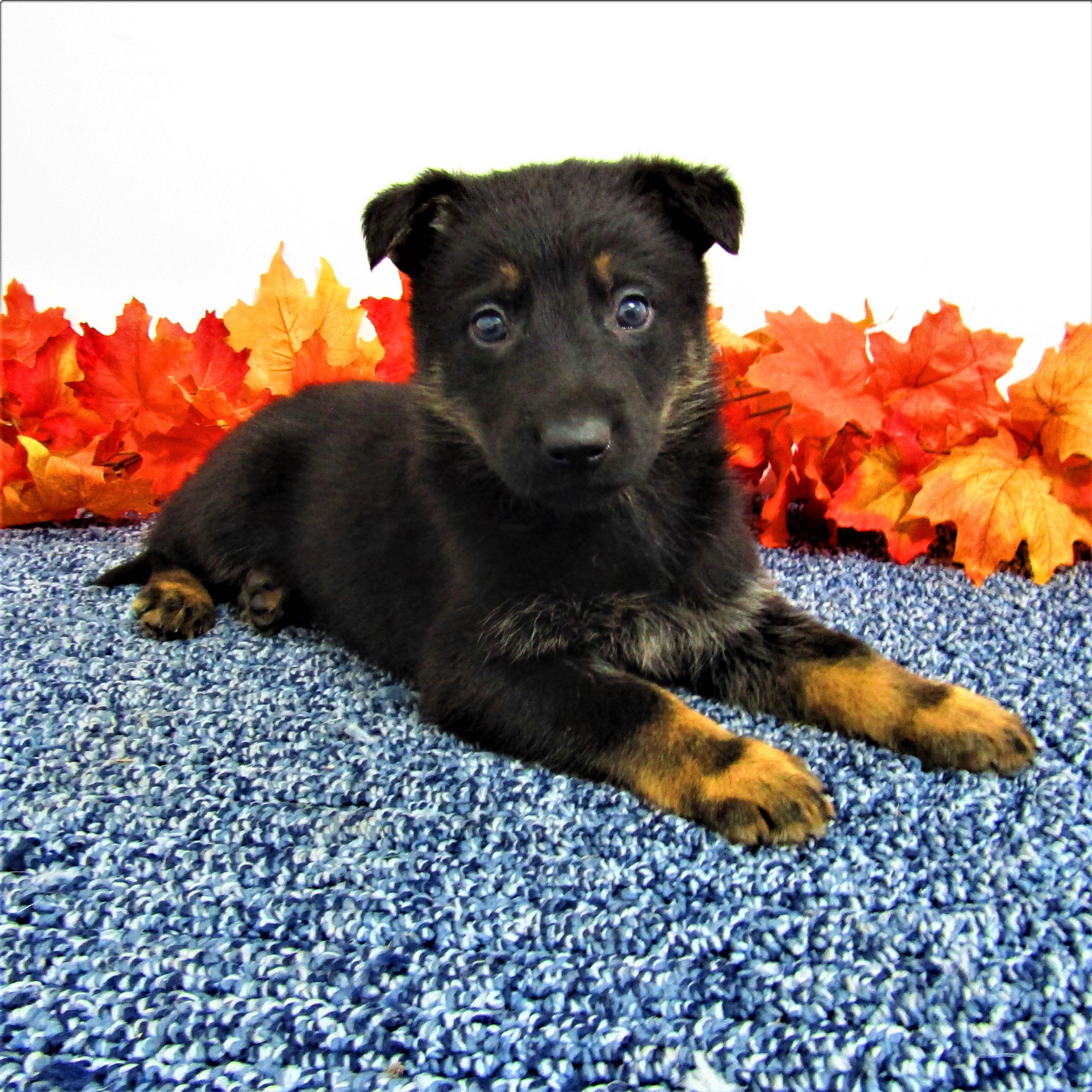 Rascal male AKC German Shepherd pup for sale in New