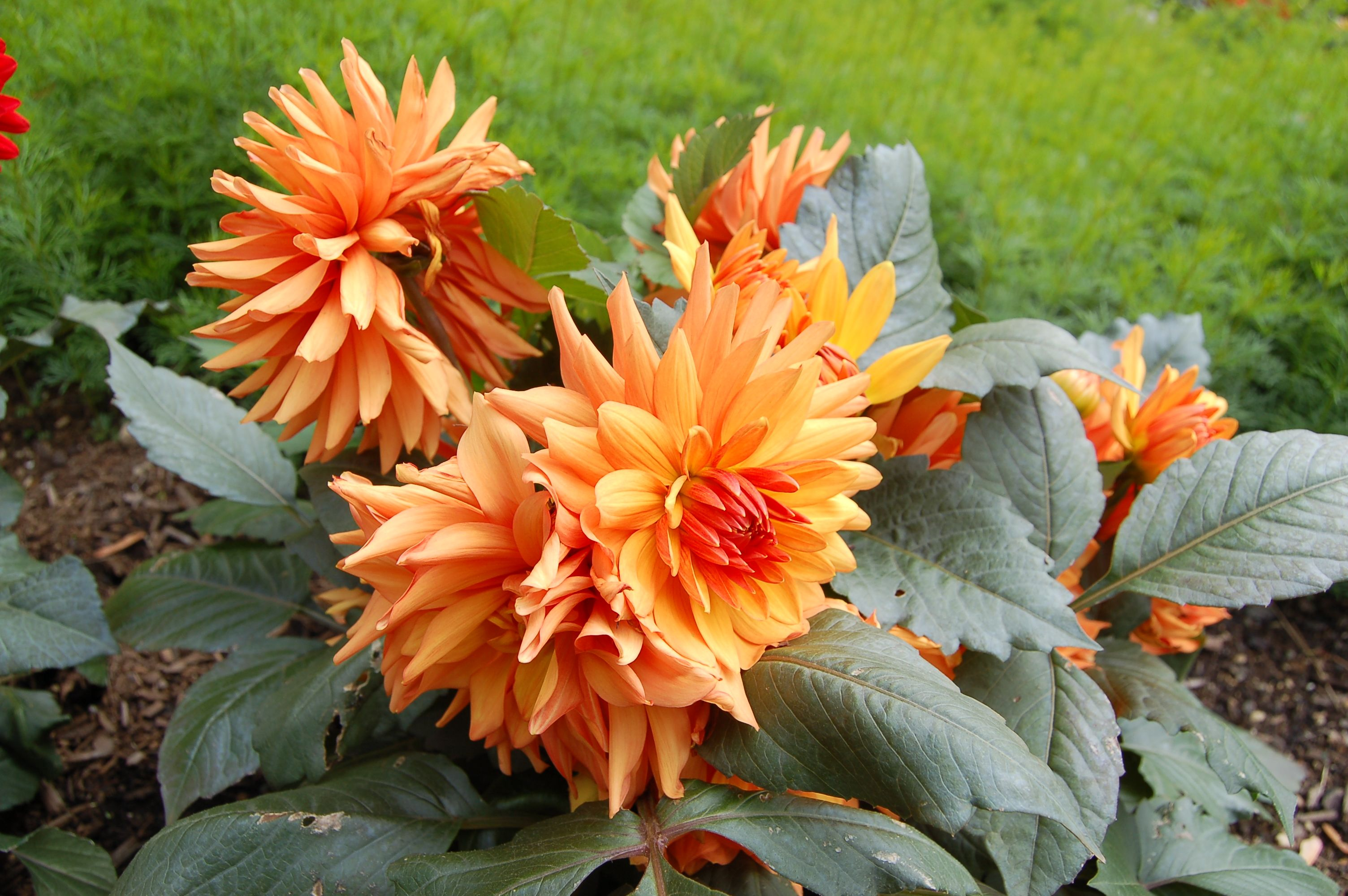 Have Your Fill With Dinner Plate Dahlias Tropical Plants Yellow