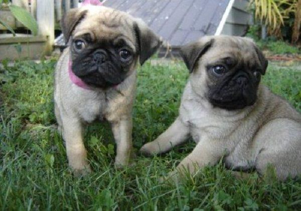 Pug Puppies For Sale In Michigan Zoe Fans Blog Pug Puppies For