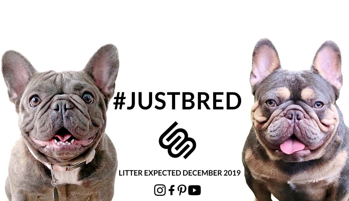 Luxe In 2020 French Bulldog Puppies