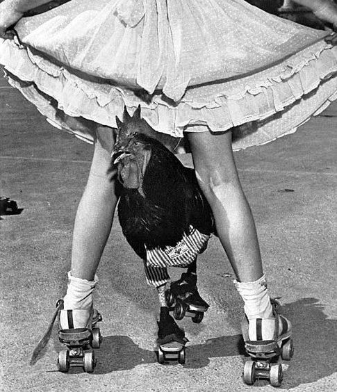 Not really roller derby, but nothing beats a rooster roller skating.  <3 #skating #skate #chicken #skatingchicken