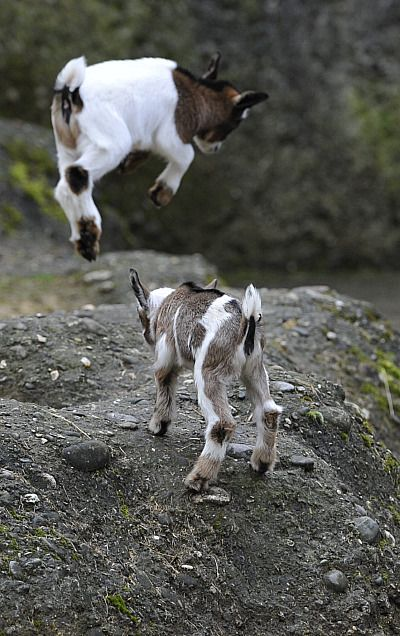Playful Pygmy Goats    photograph by Julie Larsen Maher
