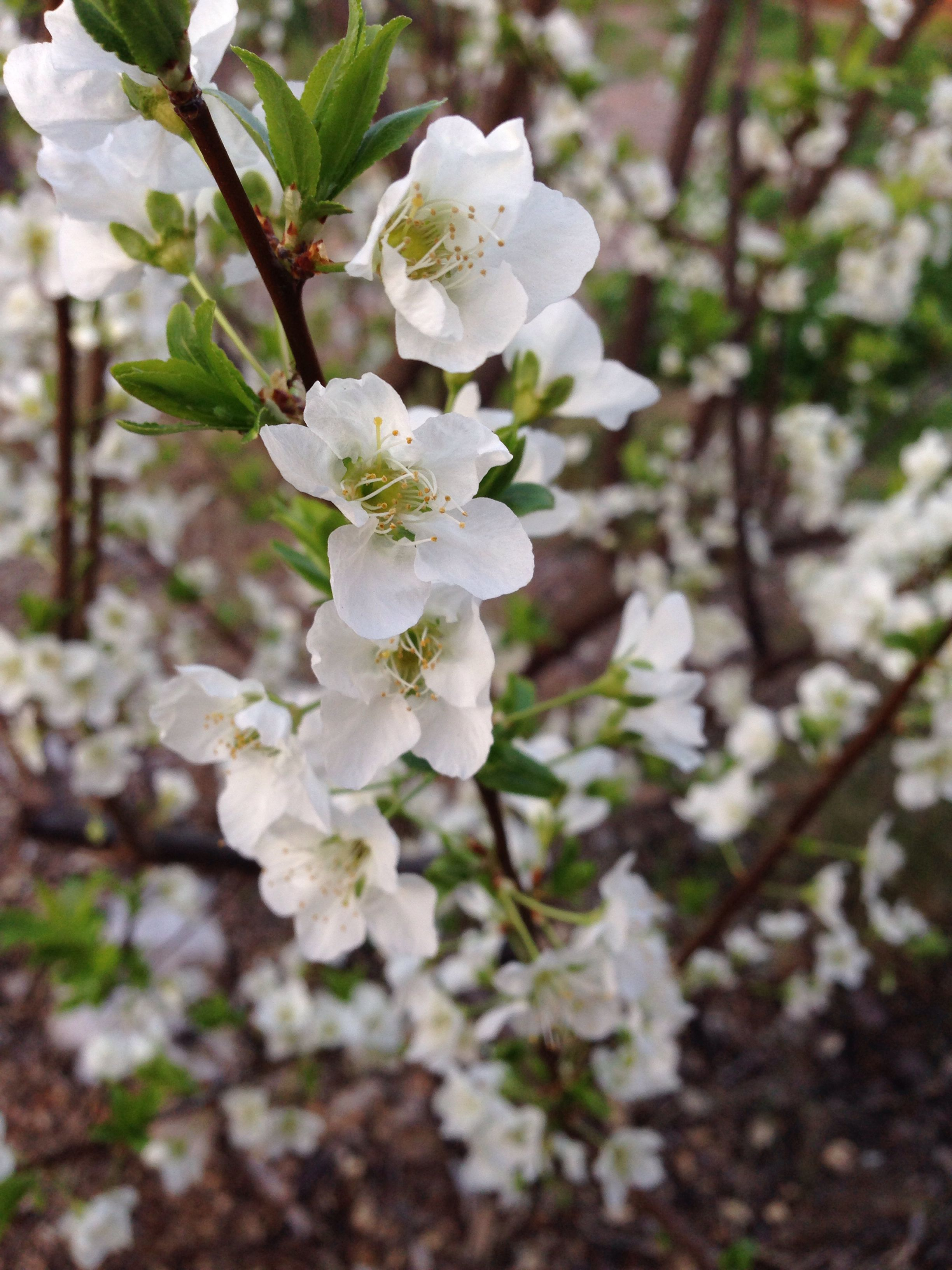 Santa Rosa Plum Blossoms On Our Small Tree Gardens