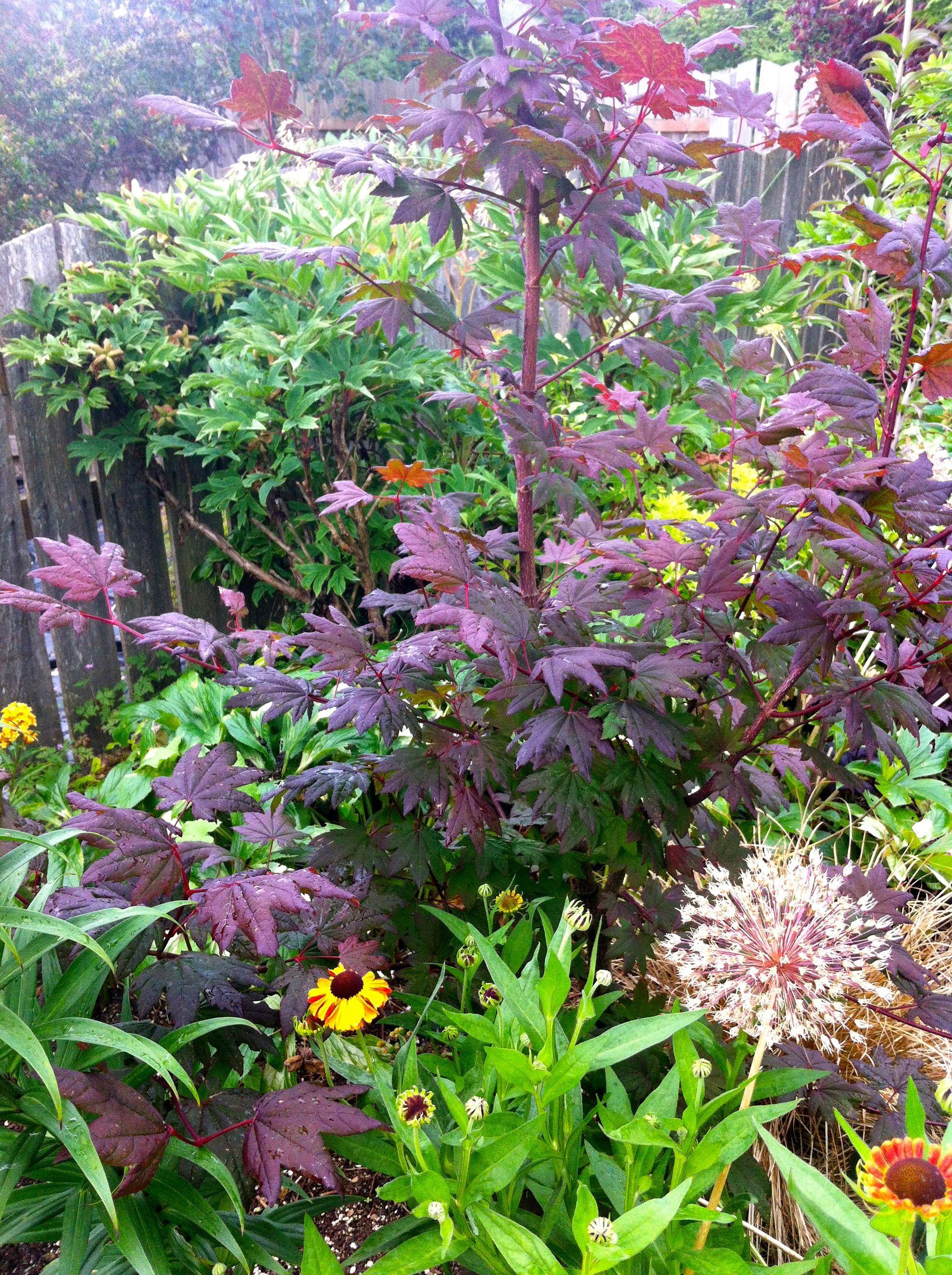 Acer circinatum pacific purple purple vine maple