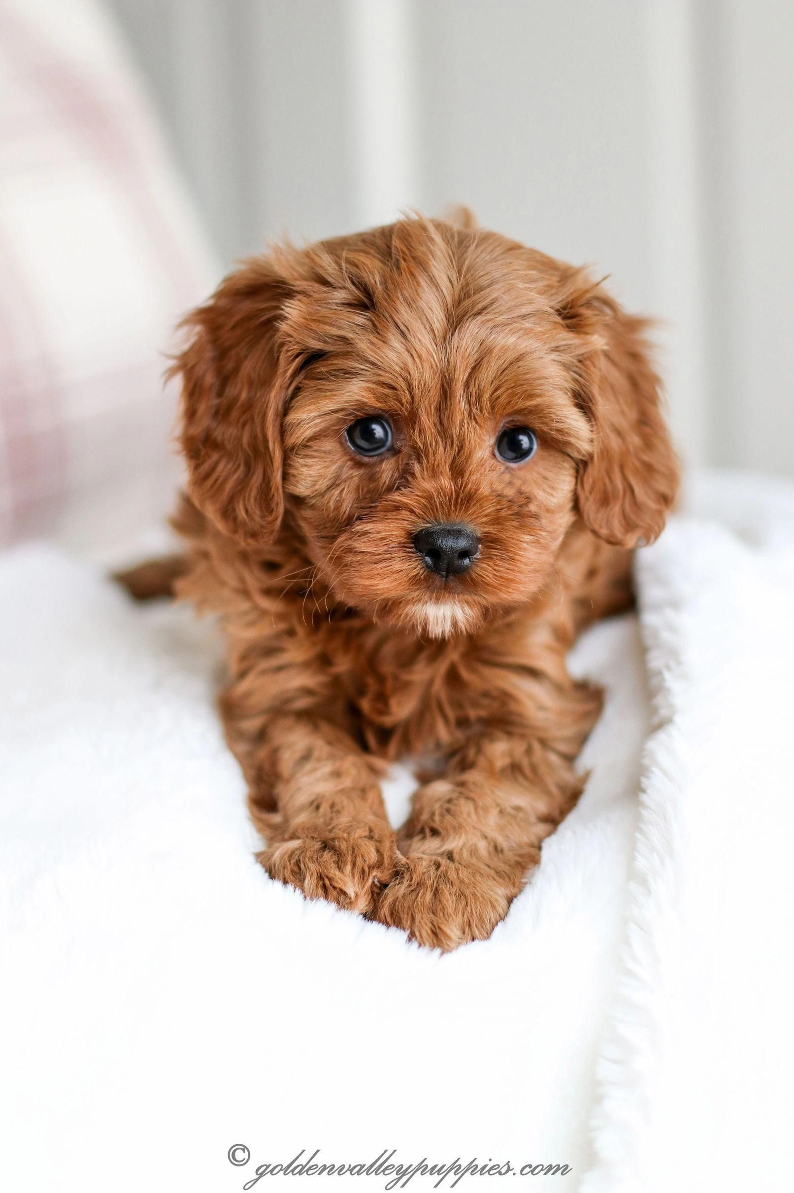Pin By Sydney Steinbring On Chewie In 2020 Cavapoo Puppies Cavapoo Puppies For Sale Cute Dogs And Puppies