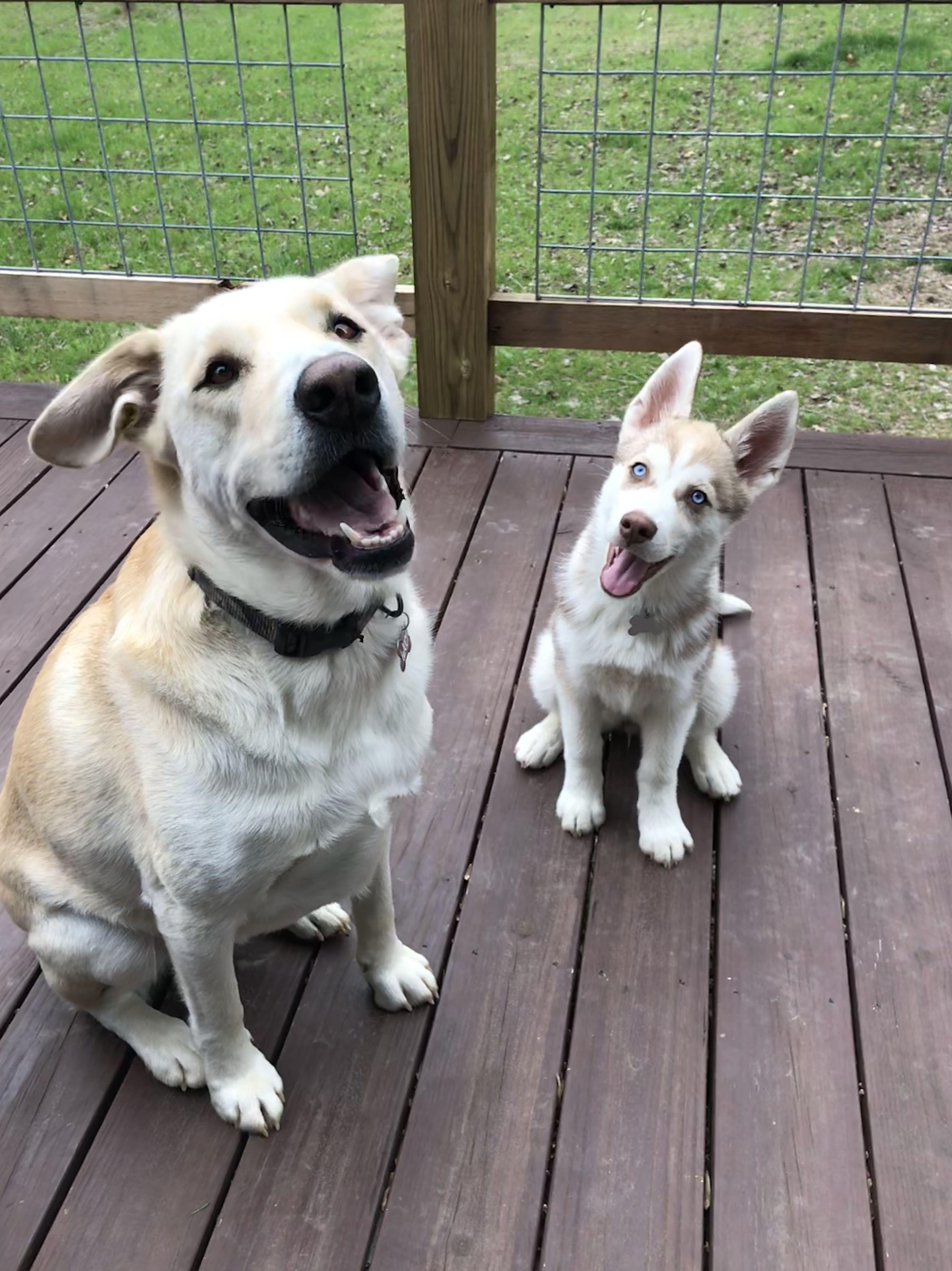 Best Buds Labrador Retriever