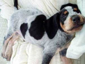Community Bluetick Coonhound Coonhound Dog Breeds
