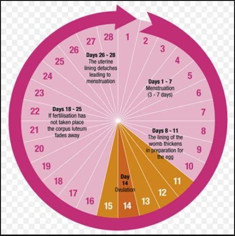 Pin by Chewy Li on Health Blushon | Menstrual cycle, Long ...