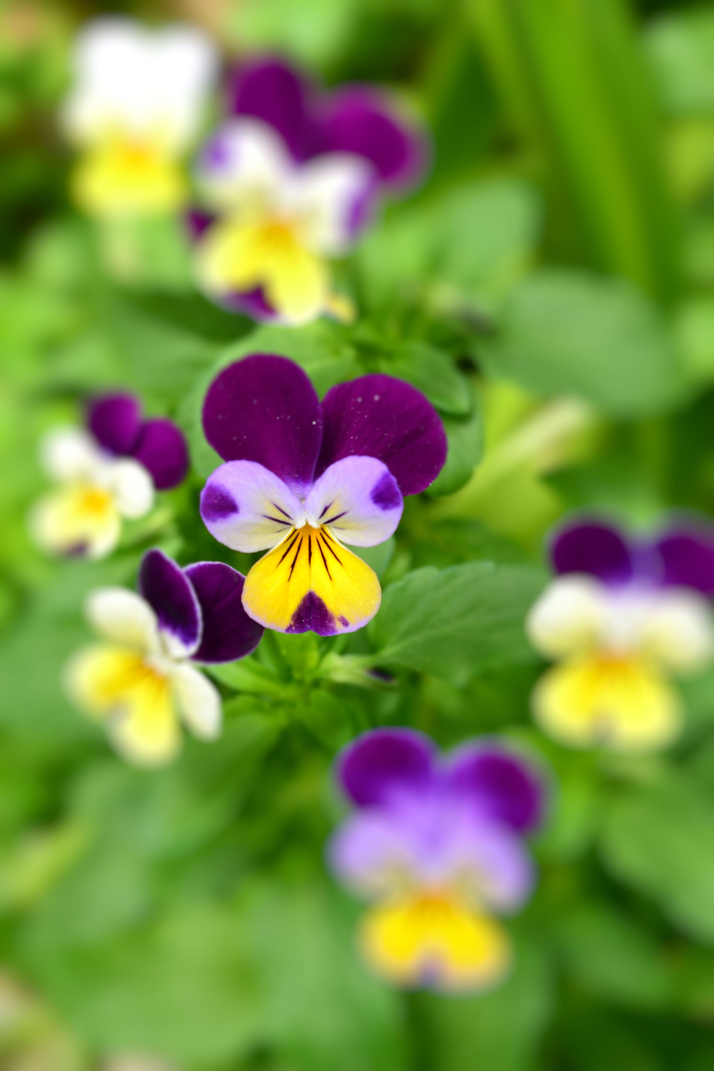 Purple Viola Tricolor Edible If Eaten In Small Quantities Tastes
