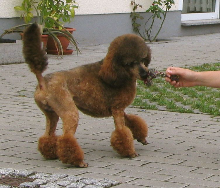 Sable Miniature Poodle Pudel Wikipedia