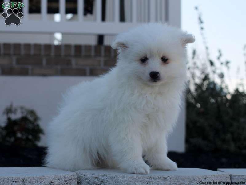 Abby American Eskimo Puppy For Sale In Delaware American