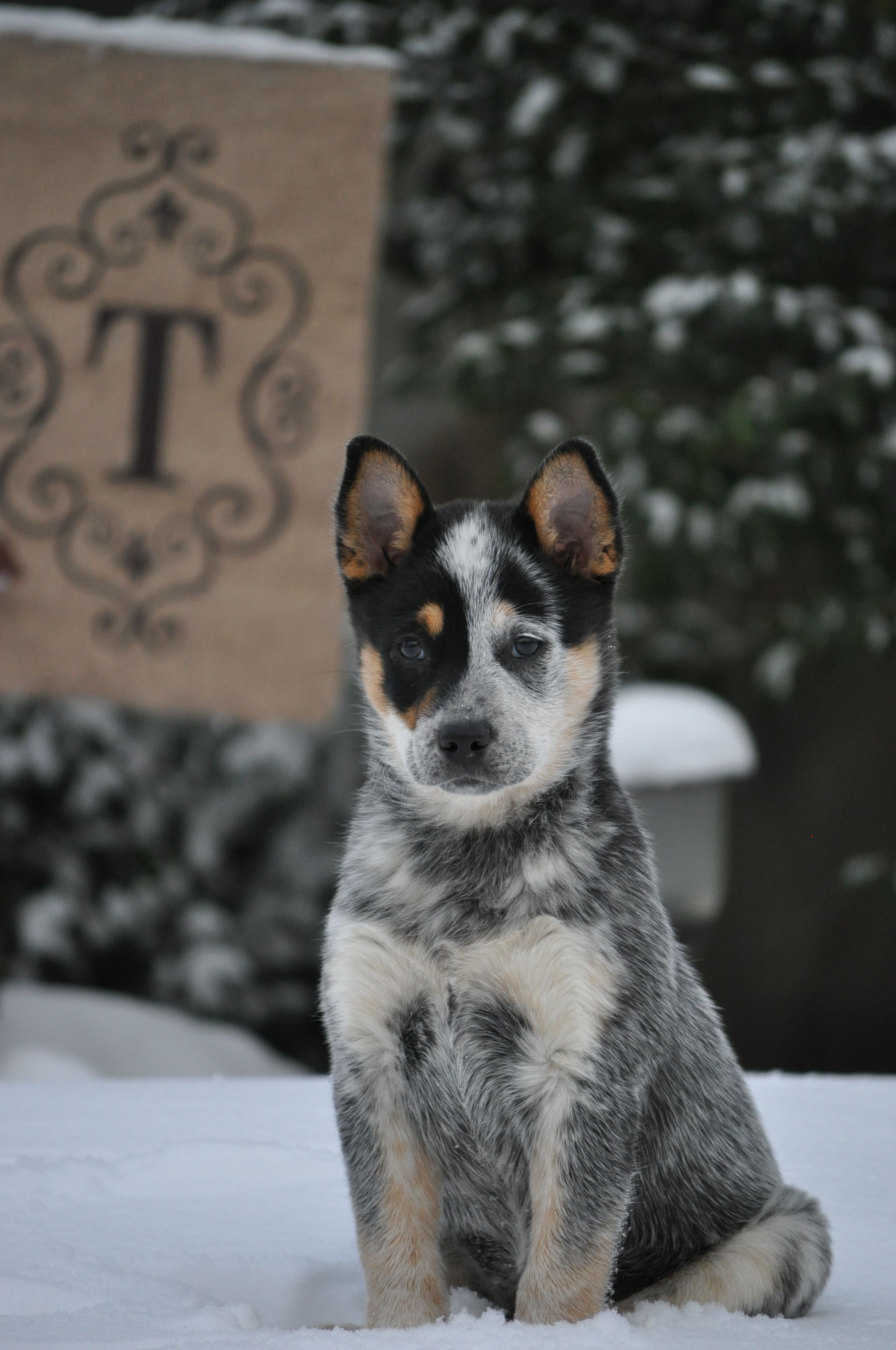 Beckett True All Trouble Austrailian Cattle Dog Blue Heeler