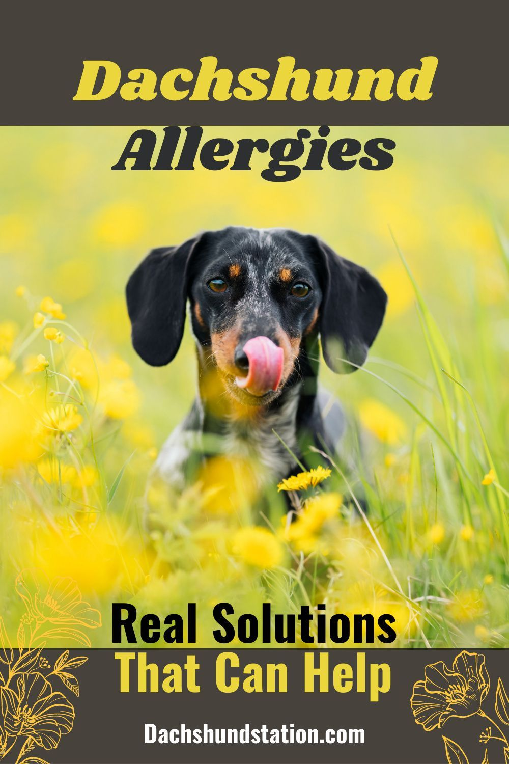 Itchy Dachshund Allergies 3 Solutions That Can Help Dachshund Station In 2020 Dog Allergies Big Dog Little Dog Dachshund