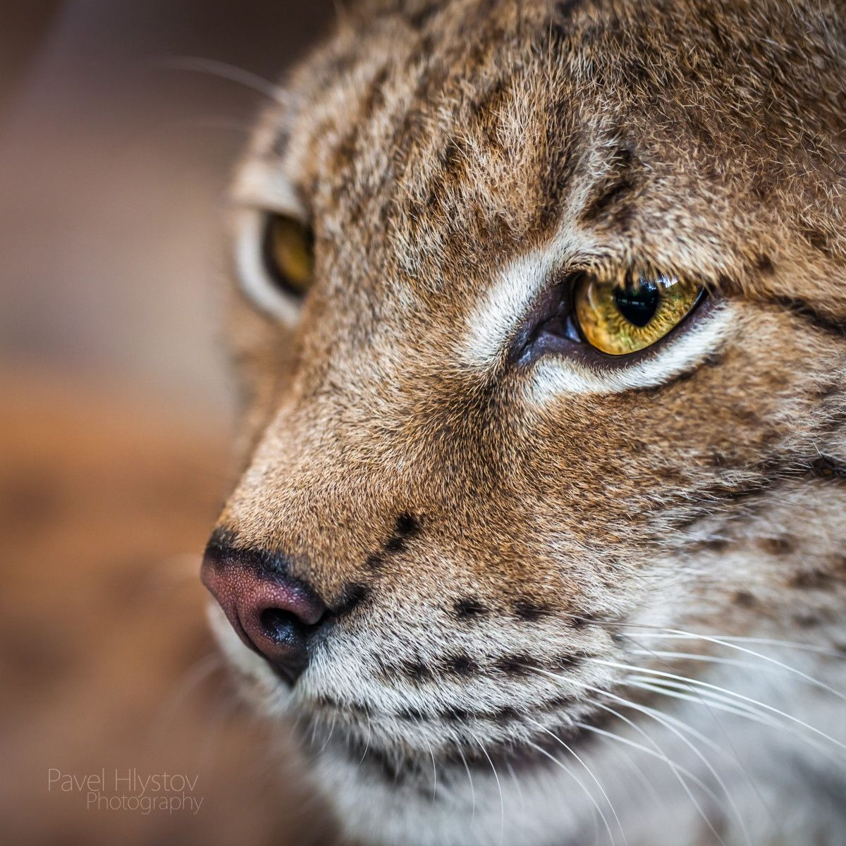 Portrait of a young lynx by Pavel Hlystov Photo 76720655